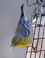 Adult female pine warbler