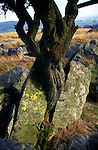 Tree growing through rock, limestone scenery, Yorkshire Dales national park, England
