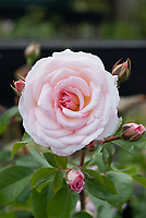 Floribunda rose, Rosa 'Pearl' pink rose in flower and bud