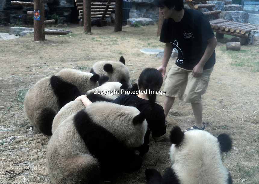Pandas that were brought from the damaged Wolong panda reserve to Beijing roll around with thier keeper in Beijing Zoo, 14th August 2008.   Eight tramatised one and two year-old  pandas were brought from Wolong to Beijing for recuperation and have been placed in aan Olympic Panda exhibition at Beijing zoo and are recieving unprecadented number of visitors.  The pandas were so scaerd during the quake and refused to come down from the trees. The Wolong keepers that accompanied the pandas to Beijing cuddle and play with pandas to help them recover from their horrific experience. <br /><br />Photo by Richard Jones/Sinopix