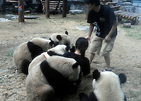 Pandas that were brought from the damaged Wolong panda reserve to Beijing roll around with thier keeper in Beijing Zoo, 14th August 2008.   Eight tramatised one and two year-old  pandas were brought from Wolong to Beijing for recuperation and have been placed in aan Olympic Panda exhibition at Beijing zoo and are recieving unprecadented number of visitors.  The pandas were so scaerd during the quake and refused to come down from the trees. The Wolong keepers that accompanied the pandas to Beijing cuddle and play with pandas to help them recover from their horrific experience. <br />