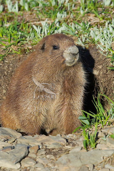 Olympic Marmot (Marmota olympus) sitting at mouth of den in alpine area of Olympic Mountains, Olympic National Park, Washington.  Summer.