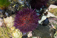 Steinseeigel, Stein-Seeigel, Paracentrotus lividus, Strongylocentrotus lividus, Toxopneustes lividus, purple sea urchin, rock sea urchin, L'Oursin violet, Seeigel, Echinoidea, Sea urchins, urchins, sea hedgehogs, Échinioïdes, Échinides, Oursins, Hérissons de mer, Châtaignes de mer