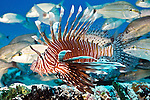 Lionfish, Invasive species, Islamorada, Florida