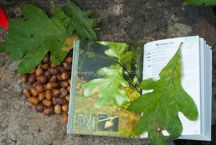 Identifying trees: Blackjack or Scrub Oak leaves and acorns Quercus marilandica with field guide tree identification book, Trees of Pennsylvania Field Guide by Stan Tekiela. Learning to identify trees by leaf and nuts