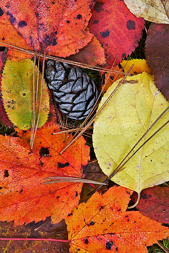 A variety of colors and shapes of Autumn on the forest floor in the Quabbin watershed.