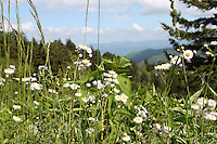 Beautiful white Fleabane wild daisy wildflowers and grass overlooking the great smoky mountain national park hills and clouds at a distance.