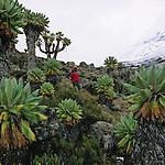 Tanzanie. Ascension du Kilimandjaro (5895 m) par la voie Lemosho et Machamé. Sénéçons géants dans la vallée de Barranco.Climbing of Kilimandjaro (5895 m), the highest mountaine of Africa by the Lemosho trek.