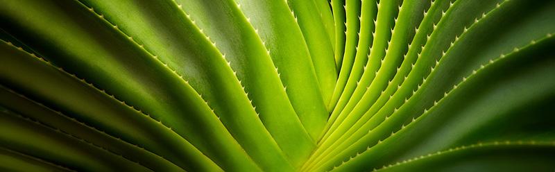 Close up of a succulent plant. Bora Bora. French Polynesia.