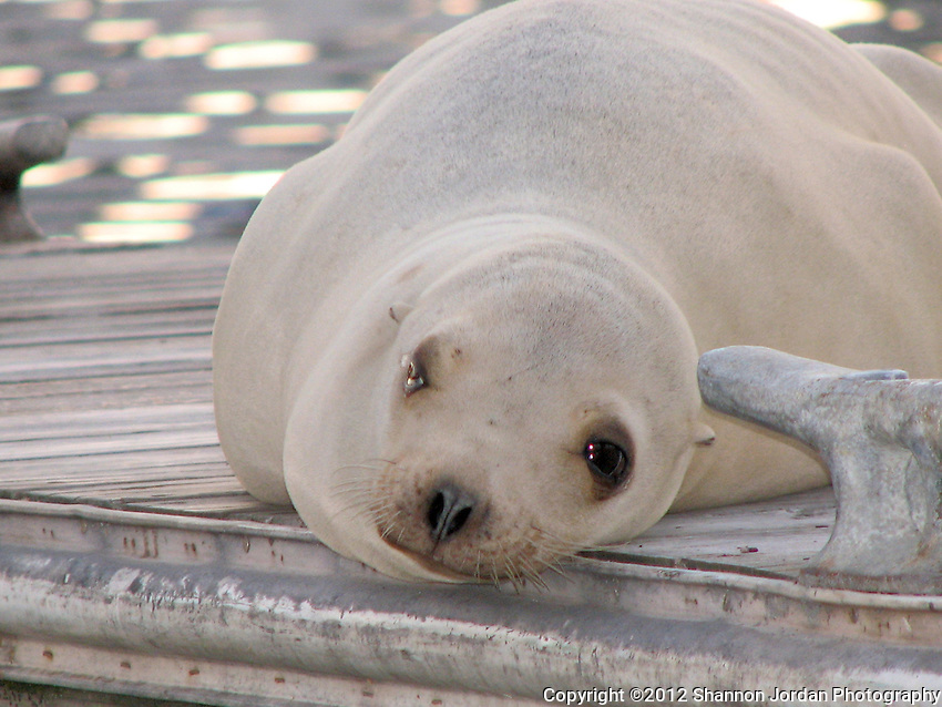 A lazy sea lion rests on a boat dock in the Santa Barbara Harbor.