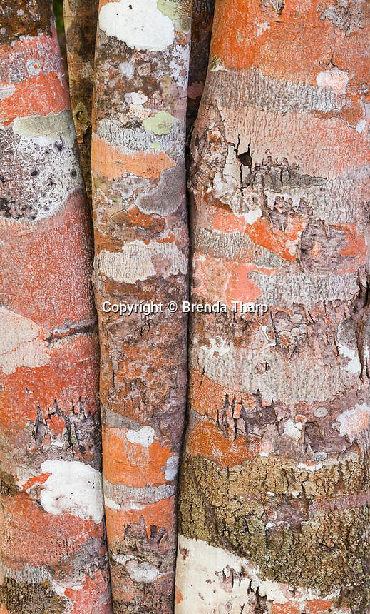 Tree trunk patterns, Cuba.