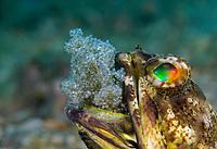 male Banded Jawfish, Opistognathus macrognathus, aerating its eggs , Blue Heron Bridge, Lake Worth Lagoon, Riviera Beach, Florida, U,S,A , Atlantic Ocean
