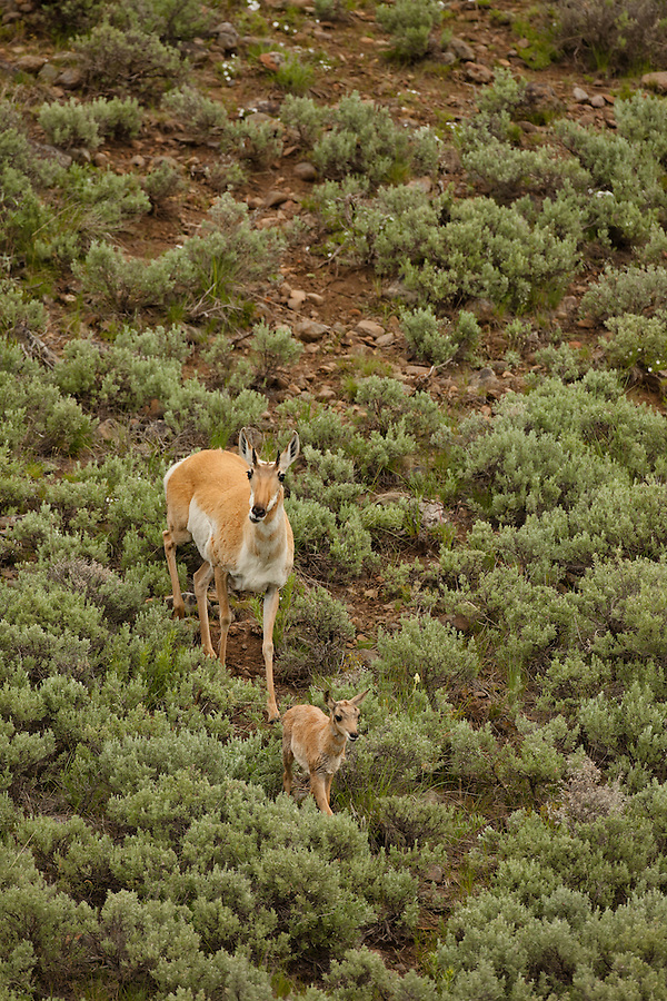 A male pronghorn antelope carefully guards his child along a grassy hillside.