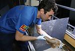 Foto: VidiPhoto<br /> <br /> ARNHEM &ndash; Uiterst voorzichtig zijn maandag drie pasgeboren gitaarroggen (Rhinobatus semiculus) in Burgers&rsquo; Ocean gevangen, gewogen en opgemeten. Burgers&rsquo; Zoo is de enige in Nederland en het tweede aquarium in Europa, dat succesvol weet te kweken met deze bijzondere vissoort. Zodra de jongen volgroeid zijn, gaan ze naar het aquarium van Boulogne in Frankrijk waar ze deel uit gaan maken van een kweekprogramma. De drie jongen zijn twee vrouwtjes en &eacute;&eacute;n mannetje. Het wegen en meten is nodig om te kijken of de groei voorspoedig verloopt. De gegevens worden gebruikt voor verder wetenschappelijk onderzoek. Burgers&rsquo; Ocean is een van de meest succesvolle aquaria ter wereld als het gaat om de kweek van zeldzame koralen en vissoorten. Wereldwijd wordt gebruik gemaakt van de expertise en resultaten van de Arnhemse dierentuin. Voordeel van eigen kweek is dat er geen materiaal of soorten meer uit de natuur gehaald hoeven te worden.