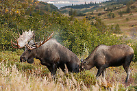 Fall landscape of Bull and cow moose during urine courtship ritual.  Powerline valley of Glen Alps area in Chugach Mountains near Anchorage, Alaska.  Chugach State Park. <br /> <br /> Photo by Jeff Schultz/SchultzPhoto.com  (C) 2018  ALL RIGHTS RESERVED