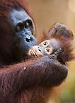 Orangutan mother delousing baby, (Pongo pygmaeus), endangered species due to loss of habitat, spread of oil palm plantations, Tanjung Puting National Park, Borneo, East Kalimantan,