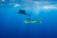 dorado, mahi mahi, or dolphin fish, Coryphaena hippurus, and Atlantic sailfish, Istiophorus albicans, off Isla Mujeres, near Cancun, Yucatan Peninsula, Mexico (Caribbean Sea)
