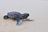 Turtle Hatchling Palawan