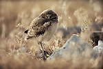 Burrowing owlet, Eastern Oregon