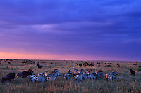 Herd of plains zebra and wildebeest on the Serengeti Plains, Serengeti National Park, Tanzania.  Sunset.