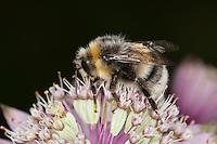 Helle Erdhummel, Weißschwanz-Erdhummel, Bombus lucorum, beim Blütenbesuch, Nektarsuche, Bestäubung, white-tailed bumble bee