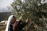 Palestinian farmers as he harvests olives in the West Bank city of Hebron on Oct. 11, 2012. A staple for many local farmers, preparing them for ready to eat consumption and to make olive oil. Both family farms and factories, employing local workers, take part in the harvest. With an expected bumper crop in the occupied West Bank and in the Gaza Strip, Palestinian officials hope to triple olive oil sales this year, boosting an otherwise failing economy. Photo by Mamoun Wazwazi