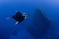 A Giant Manta, Manta birostris, glides past a submerged volcanic pinnacle at San Benidicto, Revillagigedo Islands, Mexico, Pacific Ocean