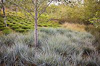 Leymus condensatus 'Canyon Prince' - Giant Wild Rye in urban park landscape design meadow garden, Jeffrey Open Space, Irvine California