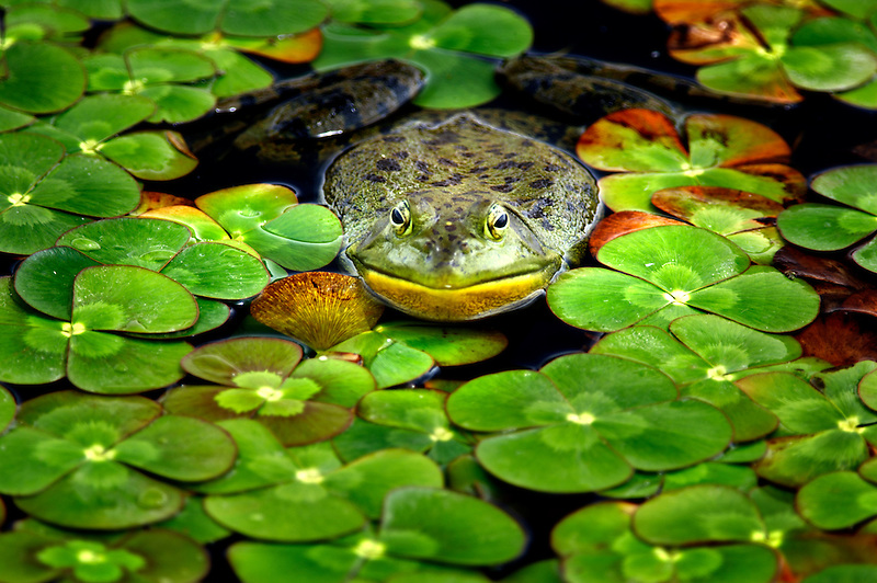 Bullfrog in pond surrounded by Water Clover (Marsilea quadrifolia). Oregon Gardens. Oregon