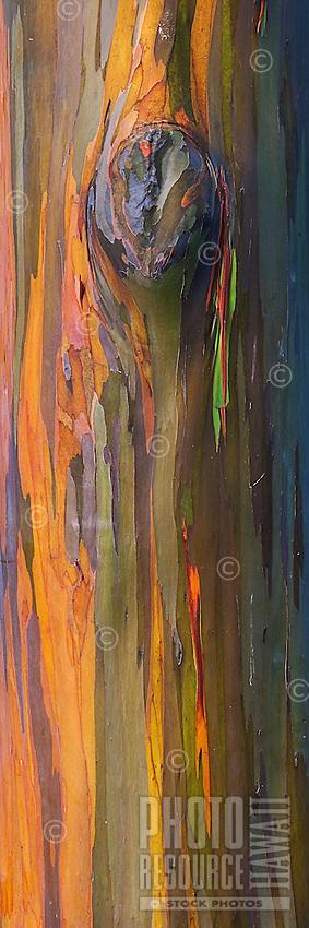 A close-up of a rainbow eucalyptus tree with a knot, Princeville, Kaua'i.