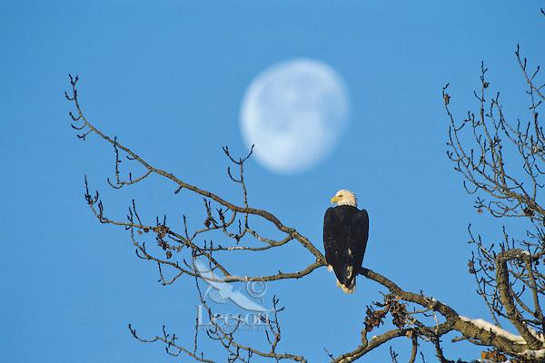 Bald eagle and moon, November.