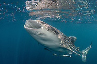 Whale Shark, Rhincodon typus, feeding at the surface. Kwatisore, Cenderawasih Bay, West Papua, Indonesia, Pacific Ocean