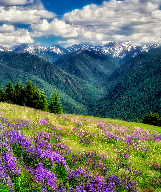 Fields of lupine wildflowers and the Olympic Mountains.From  Hurricane Ridge. Olympic National Park. Washington.