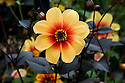 Dahlia 'Moonfire', early September.