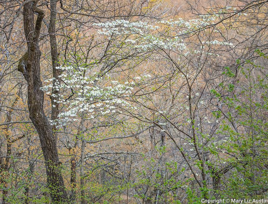 Devil's Den State Park, AR: Flowering dogwood (Cornus florida) in spring forest