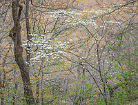 Devil's Den State Park, AR: Flowering dogwood (Cornus florida) in spring forest