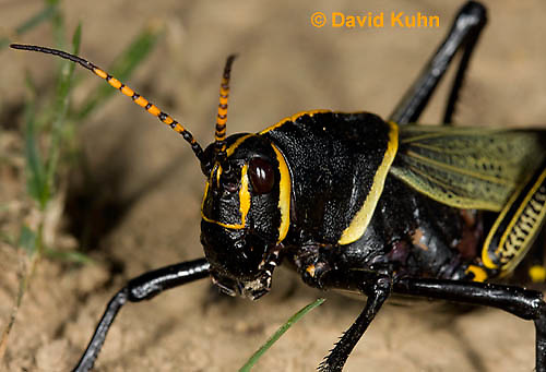 0913-0813  Adult Horse Lubber Grasshopper - Taeniopoda eques © David Kuhn/Dwight Kuhn Photography.