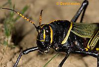 0913-0813  Adult Horse Lubber Grasshopper - Taeniopoda eques © David Kuhn/Dwight Kuhn Photography.