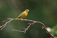 Grünfink, Männchen, Grünling, Grün-Fink, Chloris chloris, Carduelis chloris, greenfinch, male, Verdier d'Europe