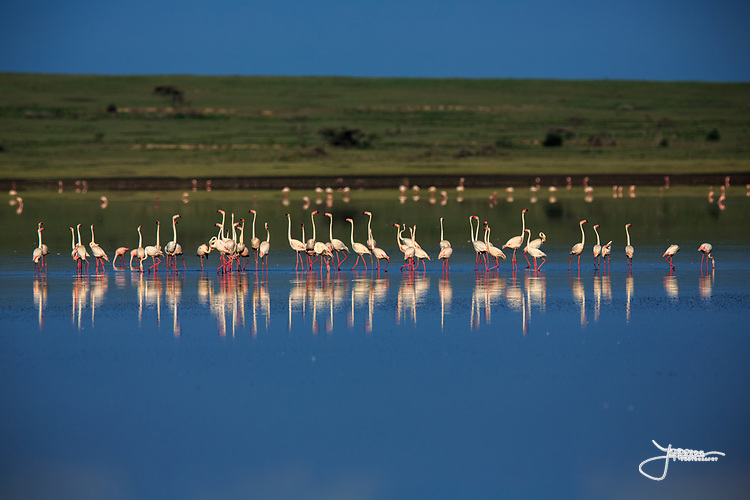 Greater Flamingos (or Rosy Flamingo) Phoenicopterus ruber, Phoenicopterus roseus, Större Flamingo, feeding in Lake Ndutu in morning light, Serengeti.