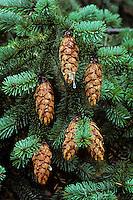 Douglas Fir Cones (Pseudotsuga menziessi), Pacific N.W., Fall