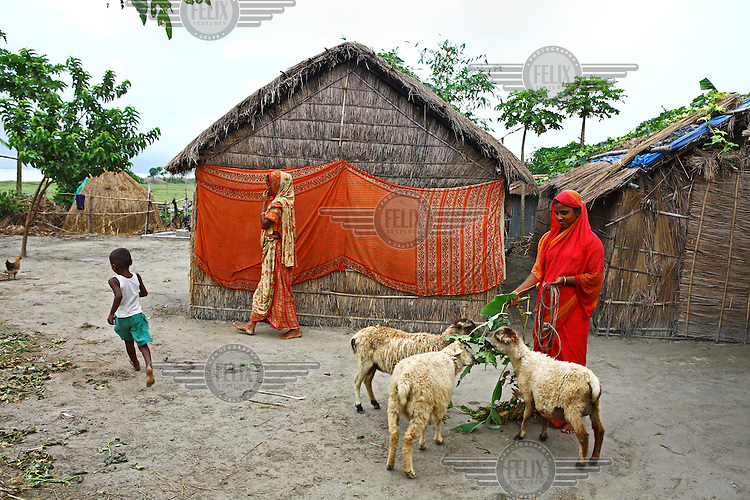 Runa Akhter (22) feeds her sheep. Farming sheep has become very popular in flood affected areas because sheep can survive scarcity of food have more antibody protection than goats.
