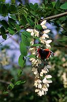 Robinie, Gewöhnliche Scheinakazie, Schein-Akazie, Blüten mit Schmetterling Admiral als Blütenbesucher, Robinia pseudoacacia, False Acacia, Black Locust, Robinia