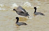 American coots, Bald Knob National Wildlife Refuge, Arkansas