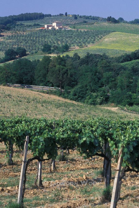 Vineyard and Olive Farm, Tuscany, Italy