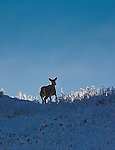 Whitetail Doe crossing a snow covered ridge with sunlight highlighting the grass