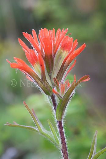 Indian Paintbrush wildflower in western Montana