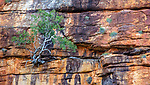 Tough tropical red box (Eucalyptus brachyandra) grows from cracks in canyon wall, Kimberley, Western Australia, Australia<br /> <br /> Canon EOS 5D Mark III, EF24-105mm f/4L IS USM lens, f/4 for 1/200 second, ISO 800