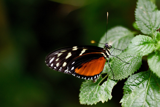 A Tiger Longwing sits on a green leaf with head, antennae, eye, probiscus clearly prominent against a dark green and black background.