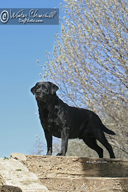 labrador retriever Shopping cart has 3 Tabs:<br /> <br /> 1) Rights-Managed downloads for Commercial Use<br /> <br /> 2) Print sizes from wallet to 20x30<br /> <br /> 3) Merchandise items like T-shirts and refrigerator magnets
